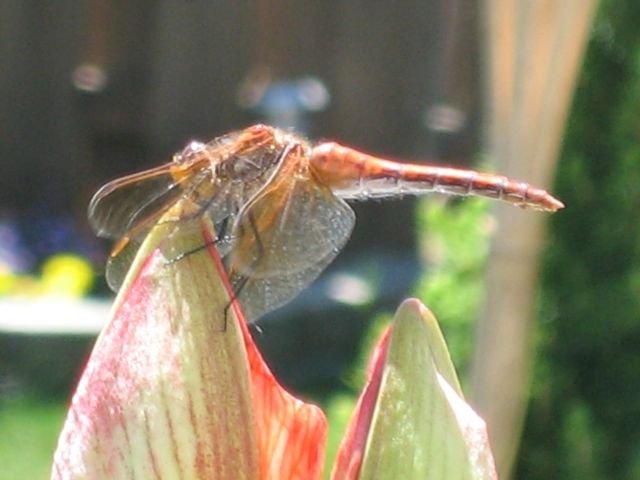 Name:  Dragonfly 003.jpg Views: 323 Size:  46.6 KB